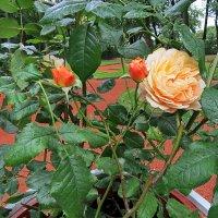 Розы в Летнем саду :: Liliya Kharlamova