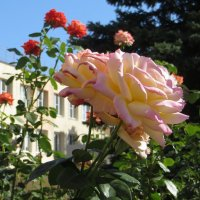 Розы около школы :: Татьяна Смоляниченко