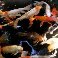 Рыбки золотые. :: Sergii Ruban