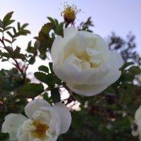 Дикая роза :: Julia Nikolina