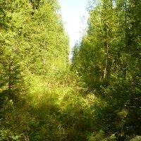 Лес в августе. :: веселов михаил