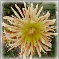 Георгины - цветы осени :: Tamara *