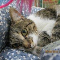 Кошка Сонечка,пристроена в добрые ручки. :: Зинаида
