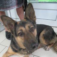 Собака из приюта,уже 5 лет живёт в семье. :: Зинаида