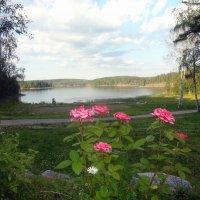 Розы в Карелии :: Vyacheslav Gordeev