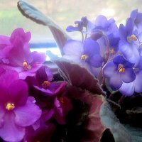 Мои фиалки на окошке :: Елена Семигина