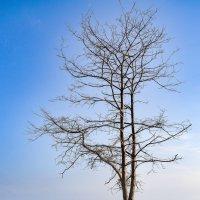 Дерево :: Виталий Косицын