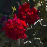 наши розы :: Валентин Семчишин