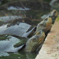Черепахи :: Michael Mh MH100181