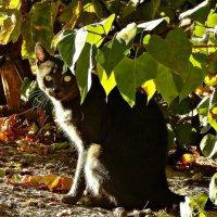 А у кошки глаза ЦВЕТА БАБЬЕГО ЛЕТА... :: ЛЮБОВЬ ВИТТ