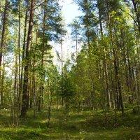 В лесу сосновом, как грибы не собирать???? :: Валентина Папилова