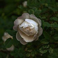 Роза :: Андрей Бобин