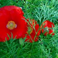 Красные в засаде. :: nadyasilyuk Вознюк