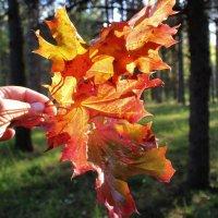 Первые яркие листья осени. :: Ольга Митрофанова