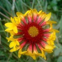 И осенью нас радуют цветы :: Елена Семигина