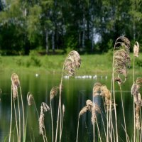 прибрежная трава :: Валентина. .