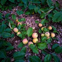 Яблоки на земле. :: Николай Тишкин