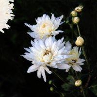 Белые хризантемы :: Евгений