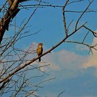 Молодой сорокопут жулан на наблюдательном пункте :: Лидия Бараблина