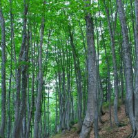 Буковый лес :: Анатолий Стрельченко