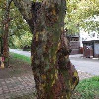 Платан...природный камуфляж... :: Андрей Кобриков
