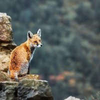 Little Fox :: Вячеслав Ложкин