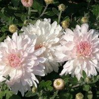 Хризантемы, хризантемы - это чудо из чудес... :: Тамара Бедай