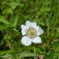 Нежный цветочек. :: zoja