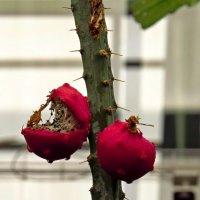 Плоды кактуса :: Елен@Ёлочка К.Е.Т.