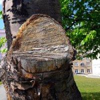Не рубите вы, деревья, не рубите..! :: Зинаида Каширина