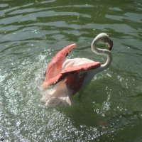 Купание фламинго :: Нина Бутко