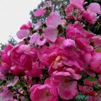 Цветущая под октябрьским дождём :: Самохвалова Зинаида