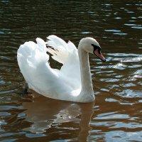 А белый лебедь на пруду :: Владимир Зеленцов