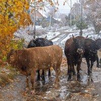 С первым снегом коровы :: Владимир Ефимов