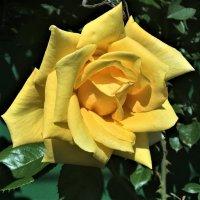 Желтая роза :: Алла ZALLA