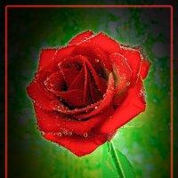Роза — символ совершенства. :: Виктор Малород