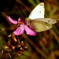и снова мир бабочек  1 :: Александр Прокудин