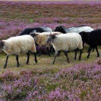 Овечки в вересковой долине :: Nina Yudicheva