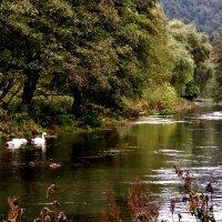 Лебеди белые, лебеди милые… встречают  осень,на  реке  Пегнитц :: backareva.irina Бакарева