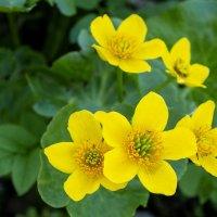 Калужница цветёт в мае :: Евгений
