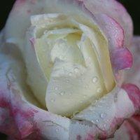 просто роза :: Мария Лебедева