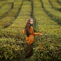 Чайная плантация :: Ирина Сидорова