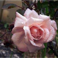 Октябрьская роза. :: muh5257