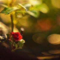 Роза :: Виктор Мороз