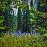 Синяя таёжная поляна :: Сергей Чиняев