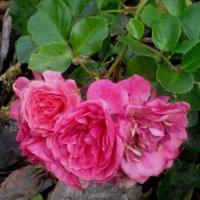 Последние октябрьские розы :: Самохвалова Зинаида