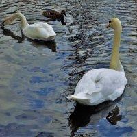Лебеди Белого озера... :: Sergey Gordoff