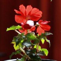Бегония (Оттенки красного цвета) :: Александр Володарский