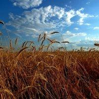 В синем небе плывут над полями облака... :: Лидия Бараблина