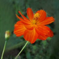 Аленький цветок :: Евгений
